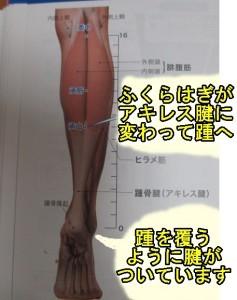 踵骨はふくらはぎからおおわれている
