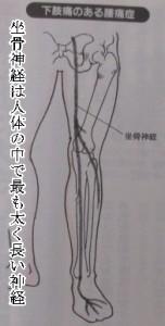 坐骨神経は人体で最大の神経です