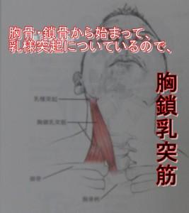 胸骨鎖骨から乳様突起につくので胸鎖乳突筋