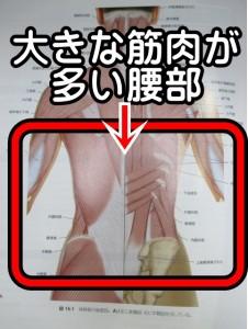 大きな筋肉が多い腰部