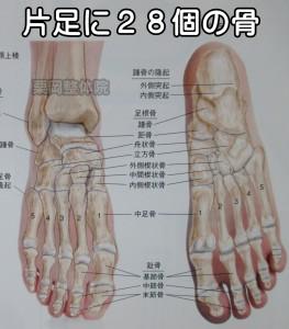 片足に28個の骨