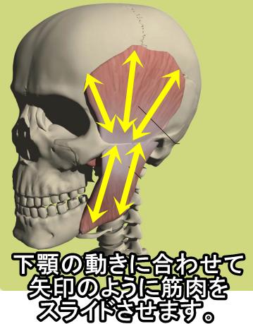 下顎の動きに合わせて 矢印のように筋肉を スライドさせます。
