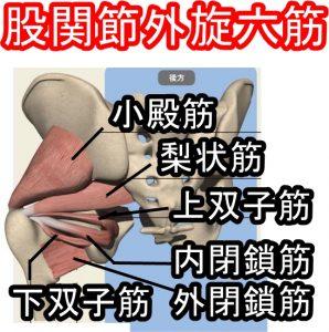 解剖学股関節外旋六筋