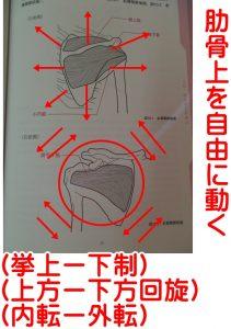 肩甲骨の動く方向