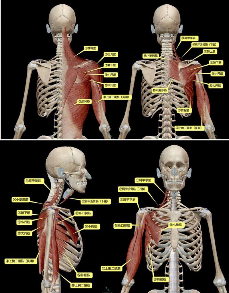 肩甲骨の筋肉